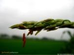 0023_flowerofcorn